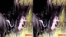 Vechten Tegen De Prooi Roofdier (Leeuw VS Buffel) Leeuw Gedood - (lion vs buffalo) lion killed-lXf1-cB5fpE-HD