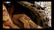 Incríveis Ataques de animais selvagens, Batalha de animais selvagens, Batalha animal, curiosidade animal,  Animais selva
