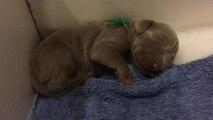 """""""Singing"""" newborn Weimaraner puppy will melt your heart"""
