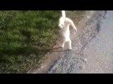Un chat qui marche sur ses pattes avant ?