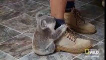 Ce koala ne lache pas son soigneur