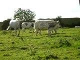les trois drôles de vaches