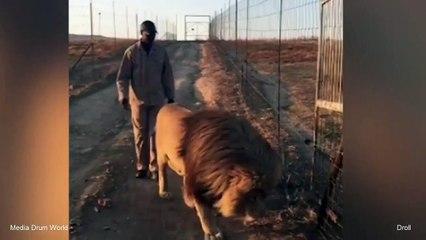 Ce lion têtu ne veut pas se pousser de la route