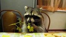 Ce raton laveur mange une grappe de raisin et c'est sans doute la chose la plus mignonne qui soit