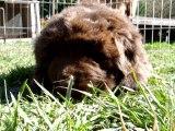 Chiot Femelle Nouméa élevage de VALOYAN