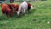 Découvrez comment une petite tortue a fait fuir un troupeau de vaches