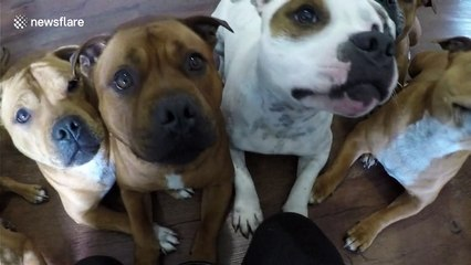 Staffordshire bull terriers answer owner's questions