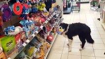 Un chien fait ses courses