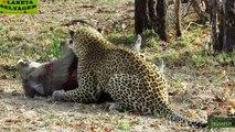 Top 10 Leopard Attacks - Most Amazing Animal Attacks - Crazy Leopard Attacks