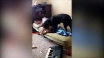 Quand c'est ton chien qui vient te réveiller... Violent