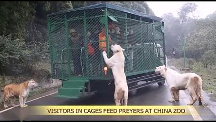 Caged people VS Tigers