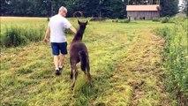 Pris de démangeaisons, ce cheval pourchasse un homme pour que celui-ci lui gratte le dos !