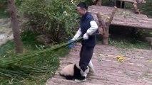 Un panda un peu trop pot de colle avec son soigneur