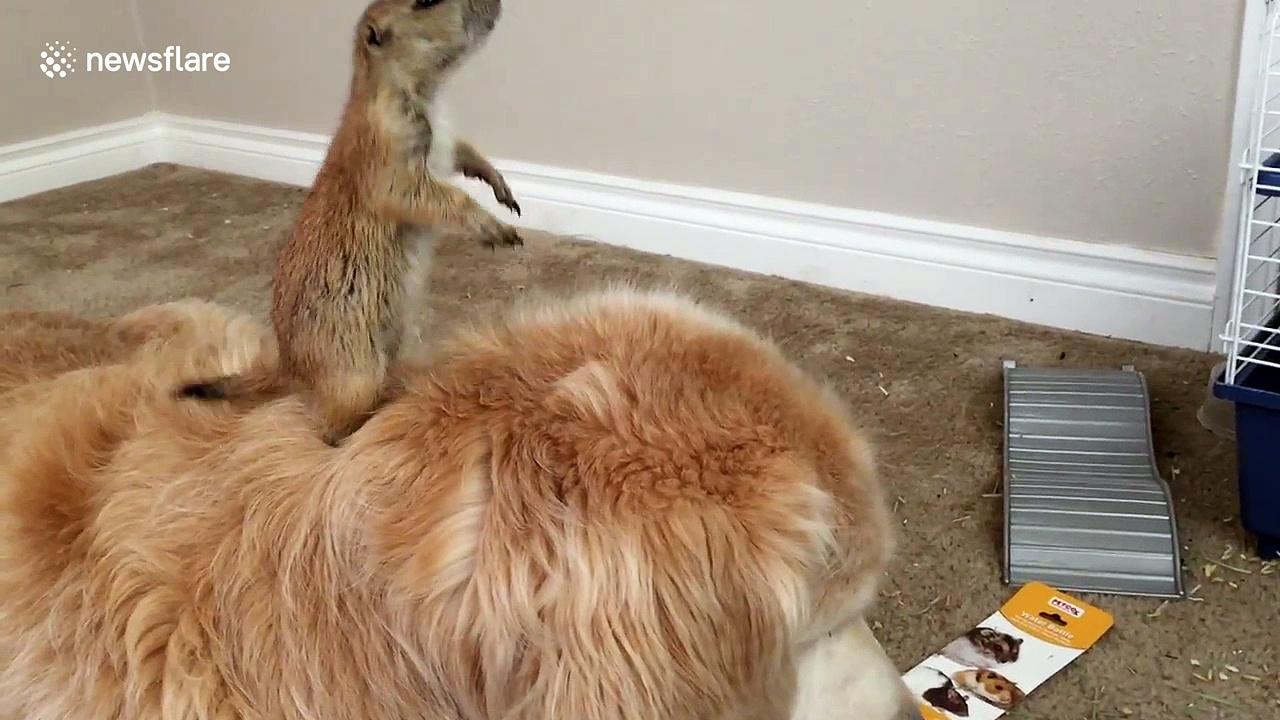 Prairie dog falls off golden retriever