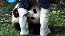 Chine: les adorables images de pandas filmés en direct
