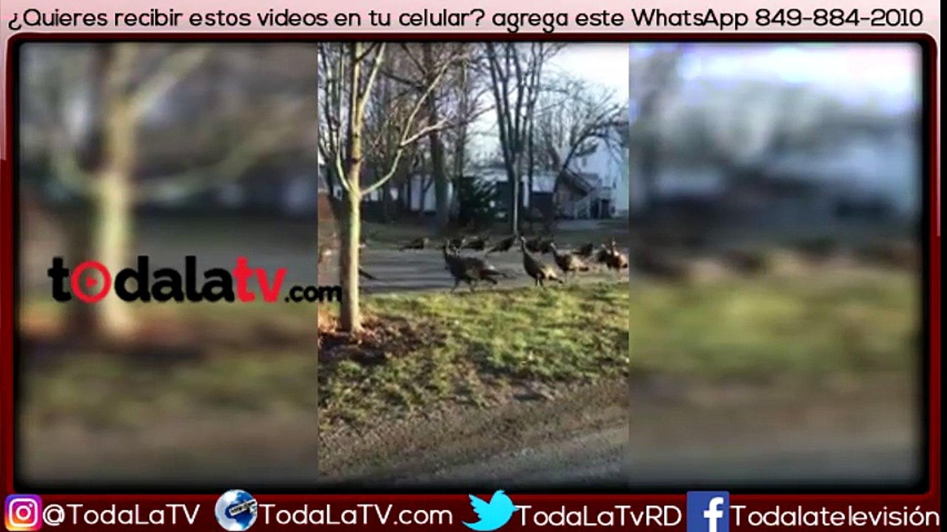 Inexplicable: Grupo de pavos intenta… ¿revivir a un gato?-Video