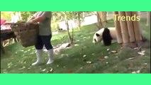 Funny pandas Playing like a buddies -Why Panda are SO CUTE