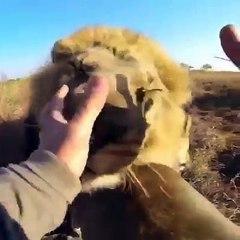 Un Homme Fait Un Câlin à Un Lion !