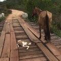 Il intervient pour sauver un poulain coincé sur le pont.