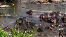 Fight For Life | Deadliest Fight Between Crocodile And Hippopotamus | Crocodile Vs Hippopotamus | Wild Animal Attacks