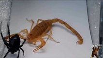 Fight For Life | Deadliest Fight Between Scorpion And Spider | Scorpion Vs Spider | Animal Attacks