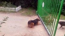 Séparés par un portail, ces chiens enragés sont sur le point de se battre, mais regardez ce qui se produit lorsque celui