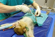 VIDEO. Vasectomie d'un jeune singe magot au parc Zoodyssée en Deux-Sèvres