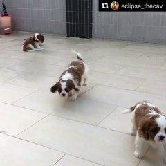 Cavalier puppies romping around