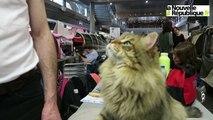 """VIDEO. Tours : Higor, le """"chat-chien"""" sibérien"""