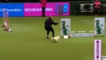 Ce chien Jack Russell est juste hilarant dans sa course d'agility
