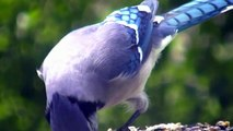 Bluejay Close Up ! Nature Minnesota Travel Minnesota Parks and Lakes !