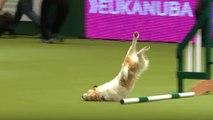 Un chien excité pendant un concours d'agility