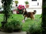 les truc des shetland (le chien de garde)