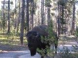 Quand un énorme bison passe à 2m de toi tu restes calme... Très calme!