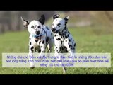 Tính cách và đặc điểm của giống chó Đốm (Dalmatian) Chó Đốm, đặc điểm và nuôi dạy giống chó Đốm