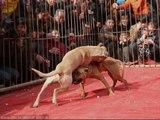 Chó Chiến Đấu - Giống Chó Chiến Đấu Cách Huấn Luyện chó Chiến Đấu