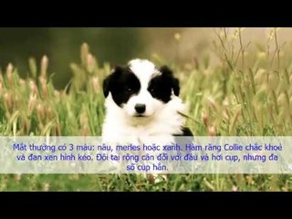 border collie savvy free download