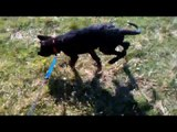 German shepherd puppy barking | german shepherd puppy barks at everything.