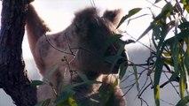 Cute Koalas Playing  Funny Koala Bears [Funny Py