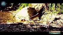 Most Amazing Snake Attacks - King Cobra attacks Python  Python attacks King Cobra