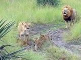 Ces bébés lions essayent de rugir comme leur papa