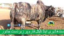 127 Cow Mandi 2018 2019 Karachi Sohrab Goth Mandi Afridi