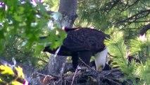 King Of All Birds (Bald Eagle) OUTDOORS MINNESOTA TWIN CITIES BIKE BIKING AREA