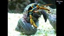 #Curiosidades: 10 curiosidades sobre crustáceos (Incrível) #2