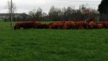 Mise à l'herbe des vaches et veaux femelles