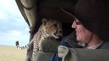 Un guépard pas très sauvage s'incruste dans la voiture de touristes dans un safari au Kenya