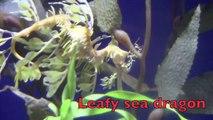 SEA ANIMALS for Kids Sea urchins sea horse Pot belly sea horse leafy sea dragon weedy sea dragon Shark