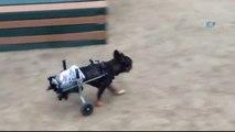 Washıngton)- Sevimli Köpeğe Tekerlekli Sandalye Üretildi