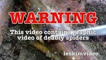Scary Redback Spider Infestation Found I Need A NUKE-exNxoiXTk