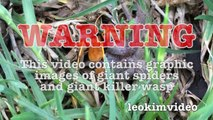 Spider Wasp Kills Giant Spider Aliens In Nature Scary Spider Control-n2A1Y